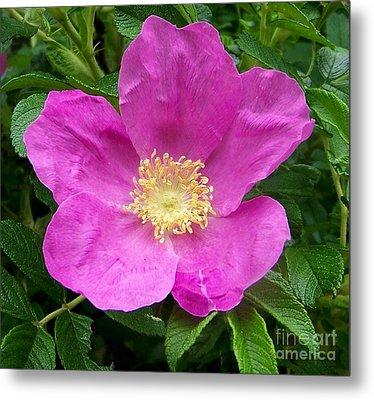 Pink Beach Rose Fully In Bloom Metal Print by Eunice Miller