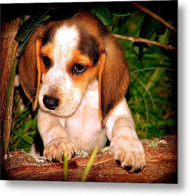 Beagle Puppy 1 Metal Print by Lynn Griffin