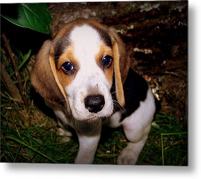 Beagle Puppy 2 Metal Print by Lynn Griffin