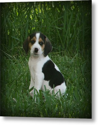 Beagle Puppy 4 Metal Print by Lynn Griffin