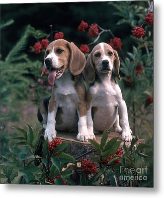 Beagles Metal Print by Hans Reinhard