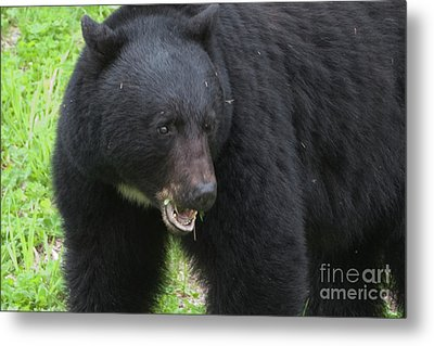 Metal Print featuring the photograph Bear by Rod Wiens