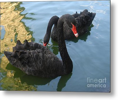 Beautiful Black Swans Metal Print by Carla Carson
