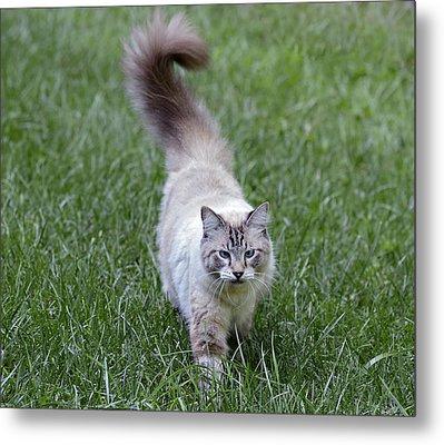 Beautiful Blue Eyed Cat Walking In Grass Metal Print