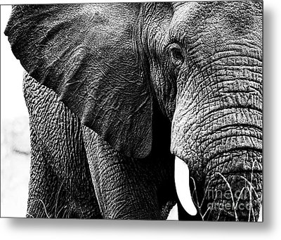 Beautiful Elephant Black And White 1 Metal Print by Boon Mee