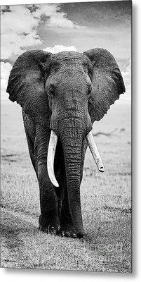 Beautiful Elephant Black And White 17 Metal Print