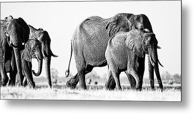 Beautiful Elephant Black And White 55 Metal Print by Boon Mee