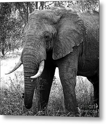 Beautiful Elephant Black And White 59 Metal Print by Boon Mee