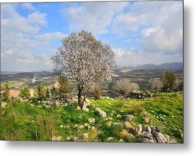 Beautiful Flowering Almond Tree Metal Print
