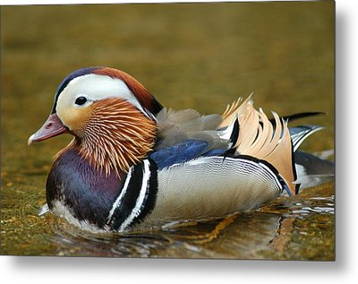 Beautiful Fowl Metal Print by Pat Knieff