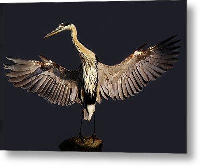 Beautiful Great Blue Heron - # 16 Metal Print by Paulette Thomas