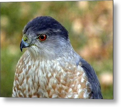 Beautiful Hawk Metal Print by Teresa Schomig