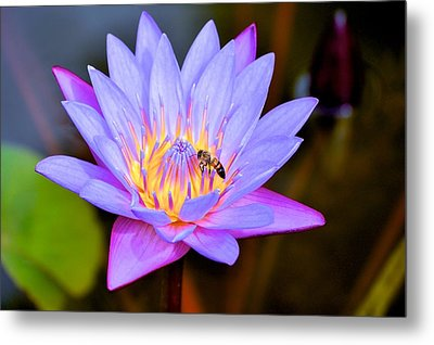 Beautiful Lily And Visiting Bee Metal Print by Kristina Deane