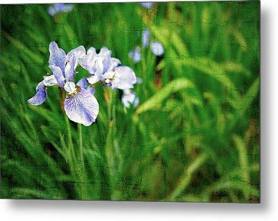 Beautiful Louisiana Hybrid Iris Metal Print by Marianne Campolongo