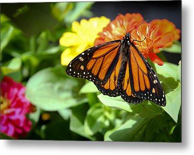Beautiful Monarch Butterfly Metal Print by Patrice Zinck