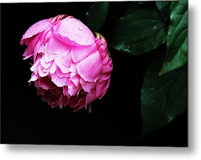 Beautiful Peony Metal Print by Trina  Ansel