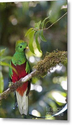 Beautiful Quetzal 1 Metal Print by Heiko Koehrer-Wagner