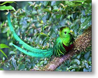 Beautiful Quetzal 3 Metal Print by Heiko Koehrer-Wagner
