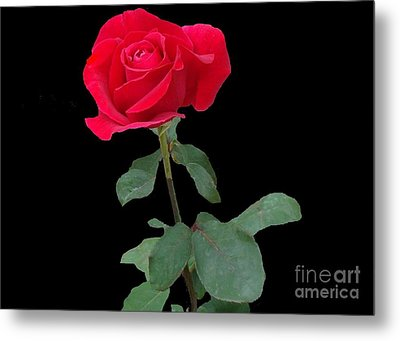 Beautiful Red Rose Metal Print