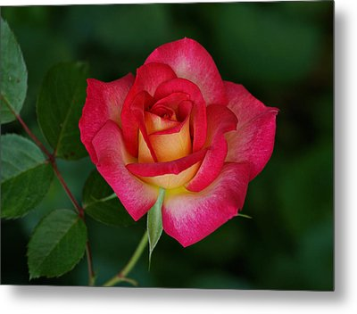 Beautiful Rose Metal Print by Sandy Keeton
