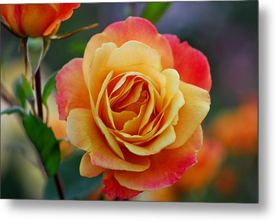 Beautiful Roses Metal Print by Jean-Jacques Thebault