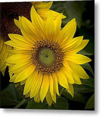 Beautiful Sunflower Metal Print