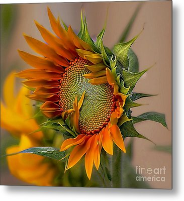 Beautiful Sunflower Metal Print by John  Kolenberg