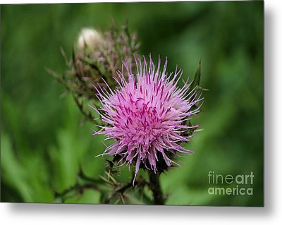 Beautiful Thistle Metal Print by Theresa Willingham