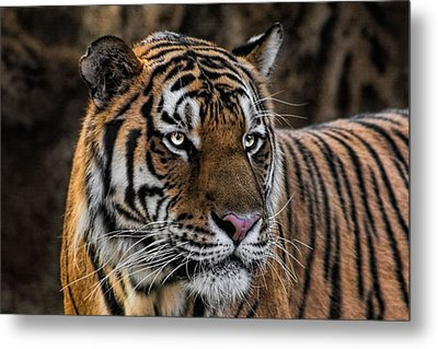 Metal Print featuring the photograph Beautiful Tiger Photograph by Tracie Kaska