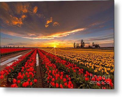 Beautiful Tulip Field Sunset Metal Print