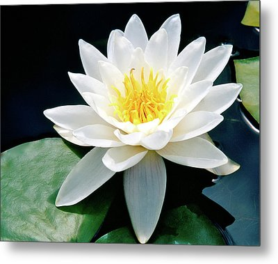 Beautiful Water Lily Capture Metal Print by Ed  Riche