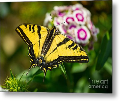 Beautiful Western Tiger Swallowtail Butterfly On Spring Flowers. Metal Print by Jamie Pham