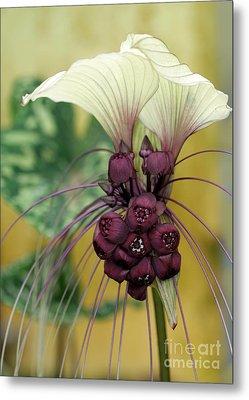 Beautiful White Bat Flower Metal Print by Sabrina L Ryan