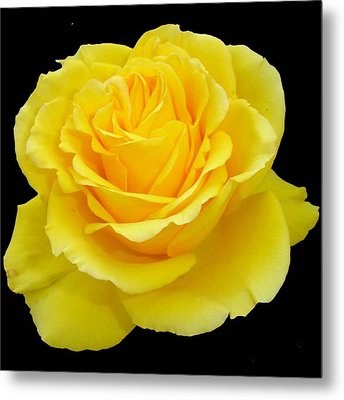 Beautiful Yellow Rose Flower On Black Background  Metal Print