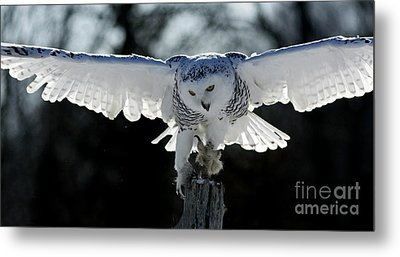 Beauty In Motion- Snowy Owl Landing Metal Print by Inspired Nature Photography Fine Art Photography