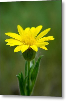 Beauty In Yellow Metal Print by Ester  Rogers