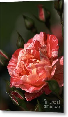 Metal Print featuring the photograph Beauty Of Rose by Joy Watson
