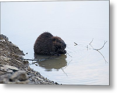 Beaver In The Shallows Metal Print by Chris Flees