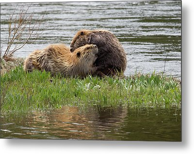 Beaver Pair Grooming One Another Metal Print by Ken Archer