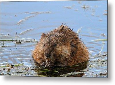 Beaver Portrait Metal Print by Dan Sproul
