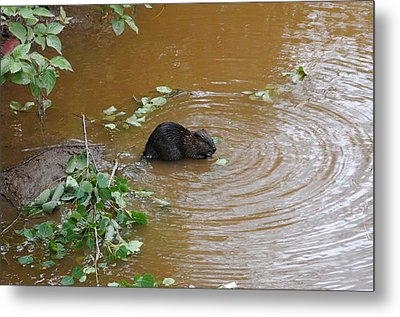 Beaver Youngster At Lunch Metal Print by Sandra Updyke