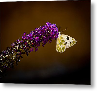 Metal Print featuring the photograph Beckers On Butterfly Bush Sparks Nevada by Janis Knight
