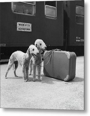 Bedlington Terriers, Austria Metal Print by Andy Bernhaut