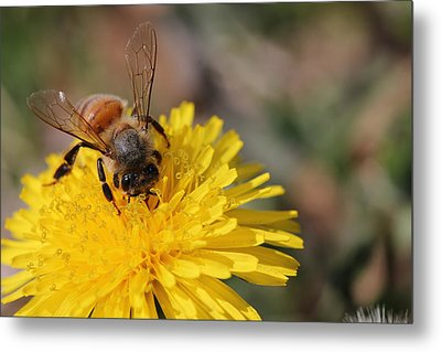 Bee And Dandelion Metal Print by Lorri Crossno