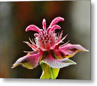 Metal Print featuring the photograph Bee Balm's Beauty by VLee Watson
