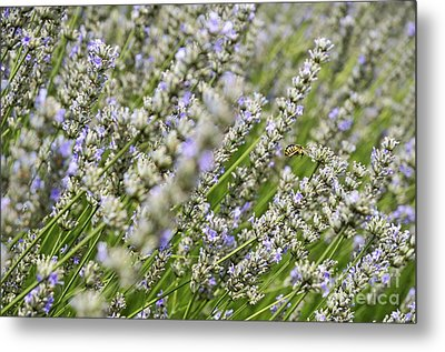 Bee Gathering Nectar From Lavender Flower Metal Print by Sami Sarkis