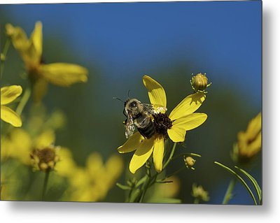 Metal Print featuring the photograph Bee Good - Bee On Yellow Wildflowers by Jane Eleanor Nicholas