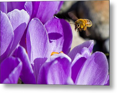 Bee In Flight Metal Print by Bob Noble Photography