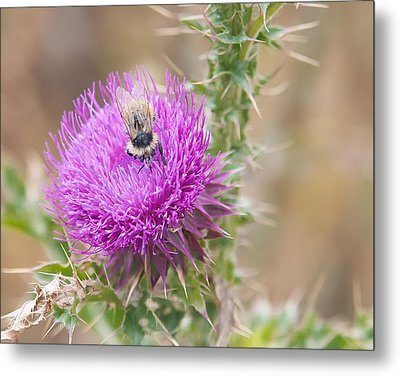 Bee On A Thistle Flower Metal Print