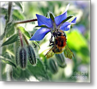 Metal Print featuring the photograph Bee On Borage by Morag Bates